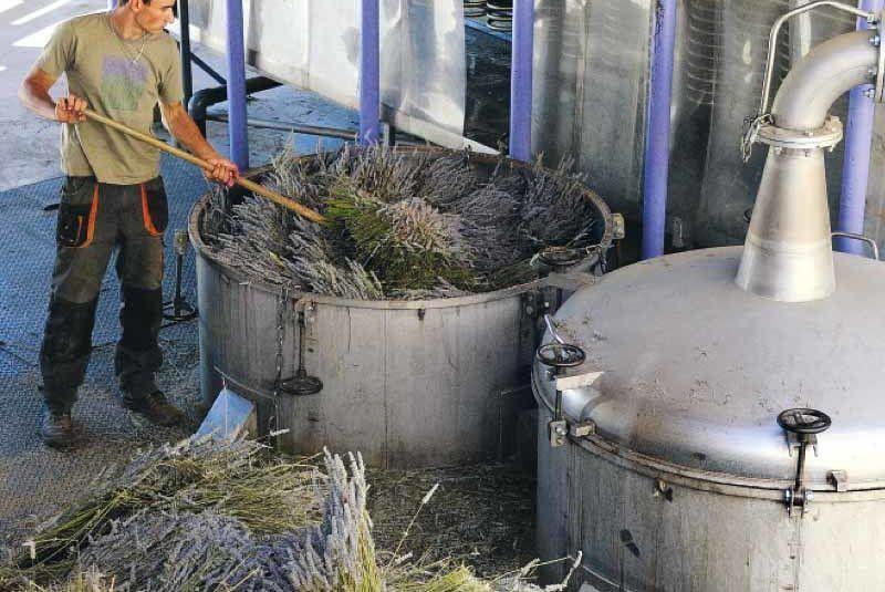Sobre los Aceites Esenciales - Proceso de Destilación de la Lavanda