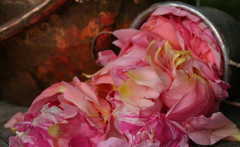 Sobre los Aceites Esenciales - Material Vegetal de Rosa