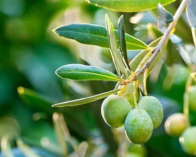 Aceite Vegetal de Oliva (Olea europaea)