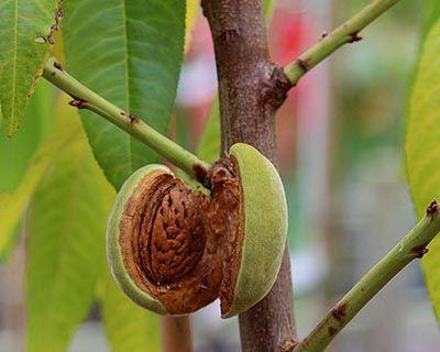Aceite Vegetal de Almendra Dulce (Prunus dulcis)