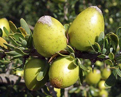 Aceite Vegetal de Argán (Argania spinosa)