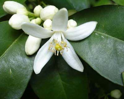 Hidrolato de Azahar o Nerolí (Citrus aurantium var. amara)
