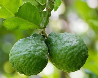 Esencia de Bergamota (Citrus bergamia)