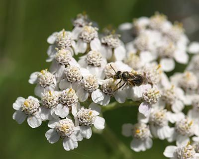 Aceite Esencial de Milenrama (Achillea millefolium)