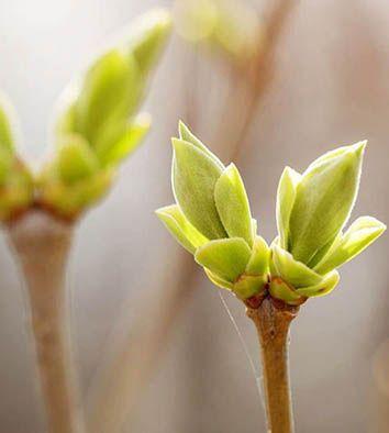 Dossier Temático: Gemoterapia (Yemoterapia)