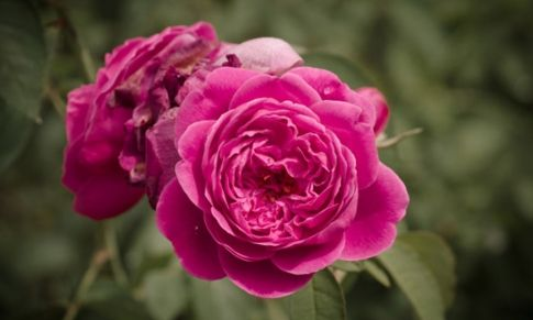 La Rosa Damascena: un Elixir de Belleza